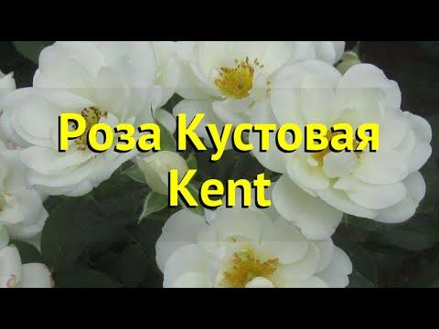 Роза кустовая Кент. Краткий обзор, описание характеристик, где купить саженцы Kent
