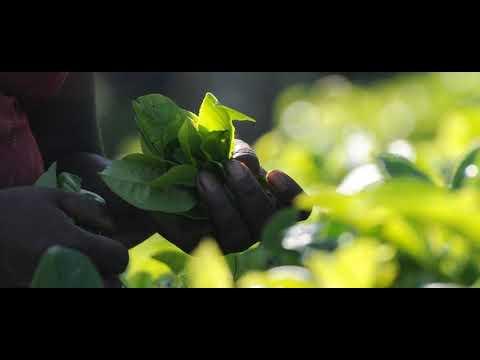 Sri Lanka Appeals To Russia To Raise Interim Tea Ban