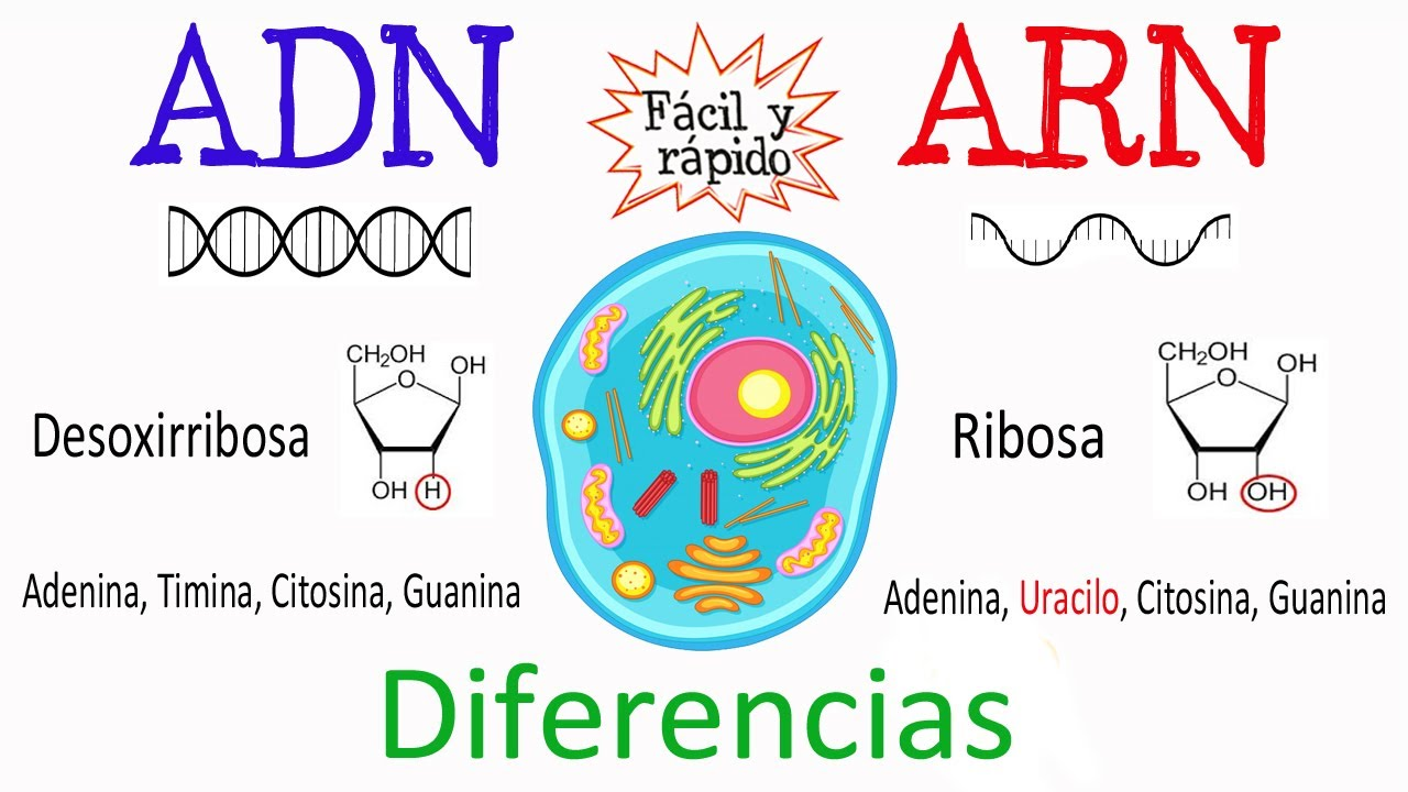 Diferencias Entre Adn Y Arn Fácil Y Rápido Biología Youtube