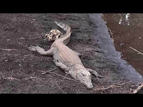 Wie Viele Zähne Hat Ein Krokodil