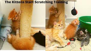 The Kittens Start Scratching TrainingDay76MY CAT HOME