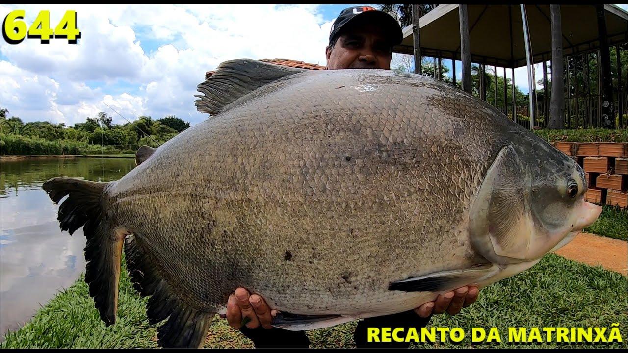 Pescaria de tambas 100% superfície no Clube de Pesca Recanto da Matrinxã - Programa Fishingtur 644