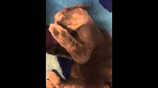 Прикол. Кошка обожает фен!!! скоттиш-страйт. Приколы котов