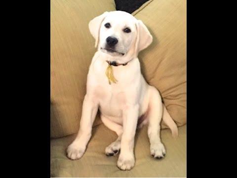 11 Week Old English Labrador Imitation Testing