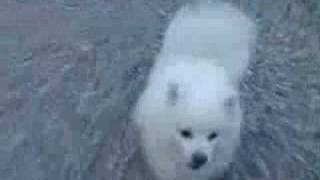 "Bell, the Japanese Spitz 日本スピッツ ベル music:inotomo ""inu to i..."