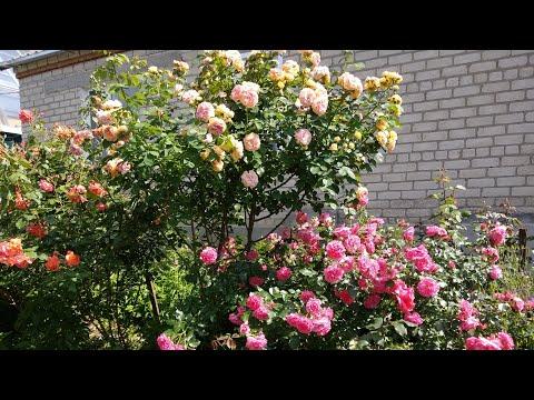 Кустовые розы: виды, форма, обрезка и формирование куста. (Вестерленд, Розариум Ютерзен, Алхимист)