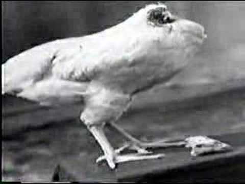 The Unbelievable Story of Mike the Headless Chicken