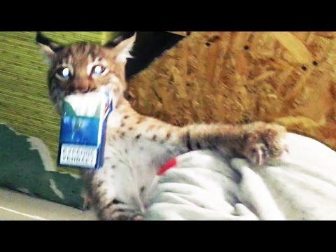 КОТЁНКА РЫСИ СВЕЛ С УМА НЕОБЫЧНЫЙ ЗАПАХ.  Crazy wildcat kitten