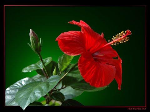✿Китайская роза  ✿ Гибискус ✿ Почему не цветет
