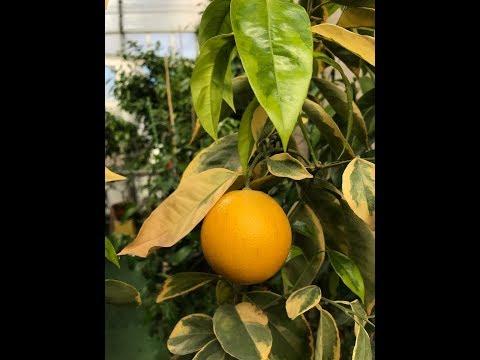 "Вариегатный апельсин ""C. sinensis variegated Panaché"""