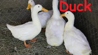 Duck: Animals for Children Kids Videos Kindergarten Preschool Learning Toddlers Sounds Songs Farm