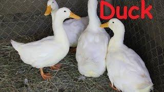 Duck: Animals for Children Kids Videos Kindergarten Preschool Learning Toddlers Sounds Songs Farm