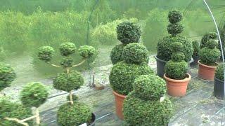 Buchsbaum zum Bonsai Teil 1