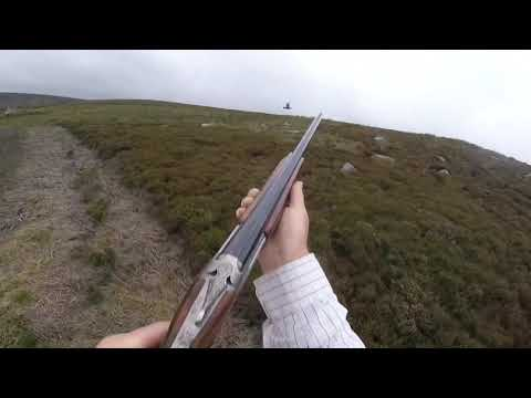 Grouse shooting over pointers