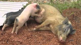 breastfeeding how to: looking a mother pig to her little children