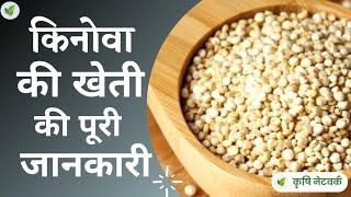 Quinoa ki Kheti (किनोवा की खेती) - thekrishi.com