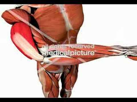 Musculus triceps brachii - YouTube