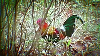 Jungle cock or Red Junglefowl Gallus gallus beauty & multi Colours plumage 1