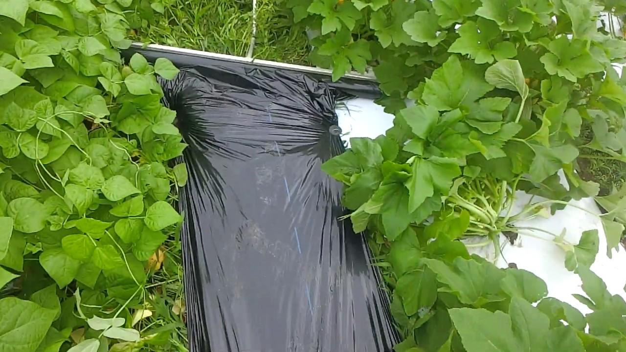 ズッキーニインゲン畝間の管理イチゴ無農薬栽培の可能性200705