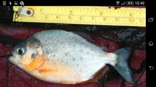 5 months of baby red belly piranha growth AMAZING