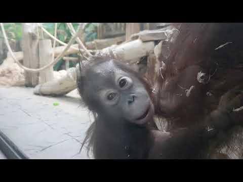 A baby of Northwest Bornean orangutan