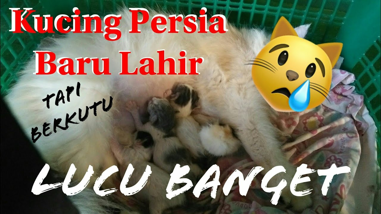 Anak Kucing Persia Baru Lahir | tapi kok berkutu? - YouTube