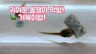초등3학년 동물의 한살이 자연산 올챙이 거북이밥 먹방!