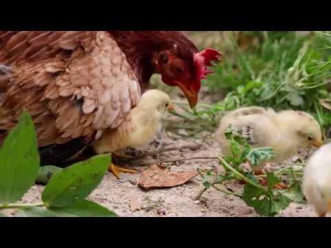 Ethologie : les relations d'apprentissage entre une poule et ses poussins