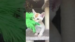 Бурманский котёнок. Мальчик красный 2. Питомник Freya Way