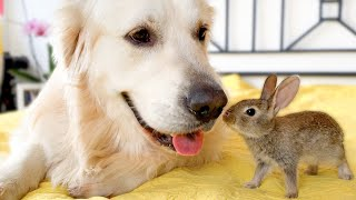 Cute Baby Bunnies Kiss the Golden Retriever