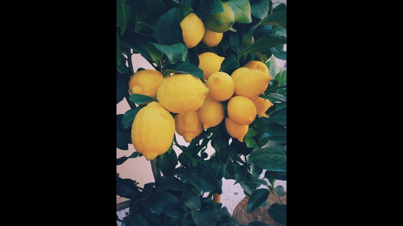 Jack'd Up Gardening #7 - Citrus