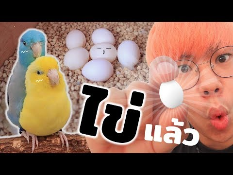 ไข่นกแก้ว!! เมื่อลูกนกของผมออกไข่ จะมีเบบี๋แล้ววว