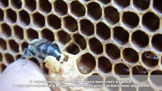 Обучение пчеловодству урок № 2 - Биология  медоносной пчелы