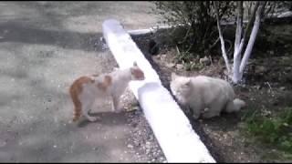 Старший брат(рыжий кот) ругает своего младшего брата(белый кот)