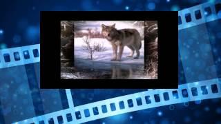 Волки. Жизнь в дикой природе. Серый волк. Wolves. Life in the wild. gray wolf(Волки. Жизнь в дикой природе. Серый волк. Wolves. Life in the wild. gray wolf удивительный мир смотреть, странные существа,..., 2014-06-02T02:24:07.000Z)