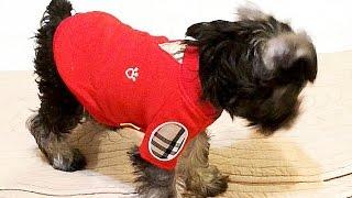 2.愛犬のミニシュナ、ミントちんの備忘録。 「チャンネル登録してワンっ...