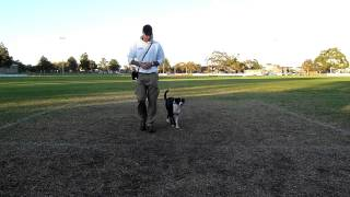 Dog Training - Luca The Border Collie .  Obedience & Trick Training Session.