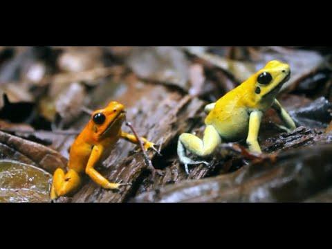 golden poison frog reserve youtube