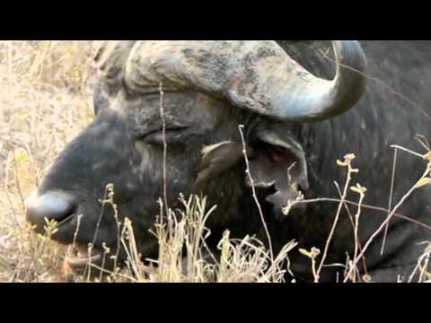 Safari 2011: Buffalo ear-cleaning service