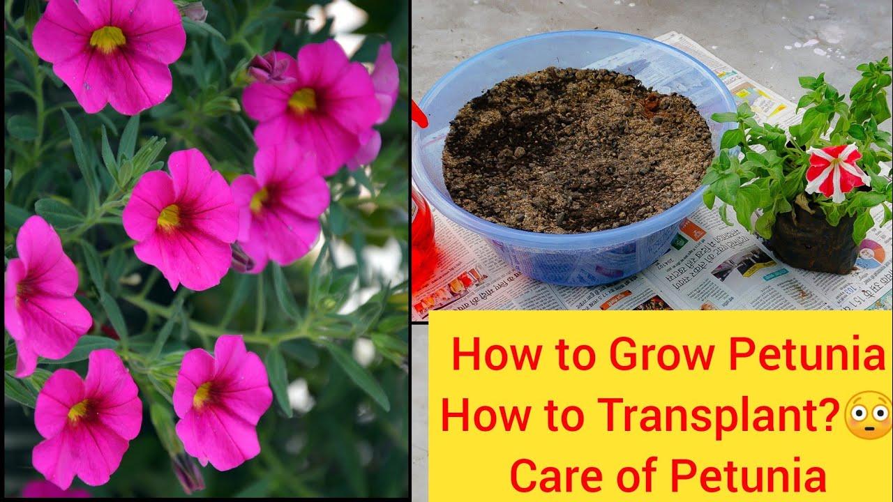 Petunia Winter Flower How To Grow Petunia Care Transplant