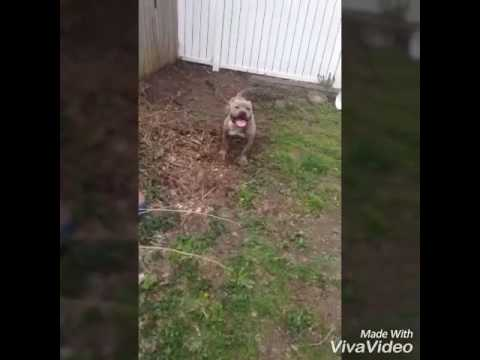 Razor edge blue brindle pitbull