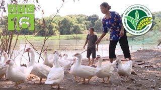 11.000 đồng/quả trứng ngan, nông dân thu lãi lớn | VTC16