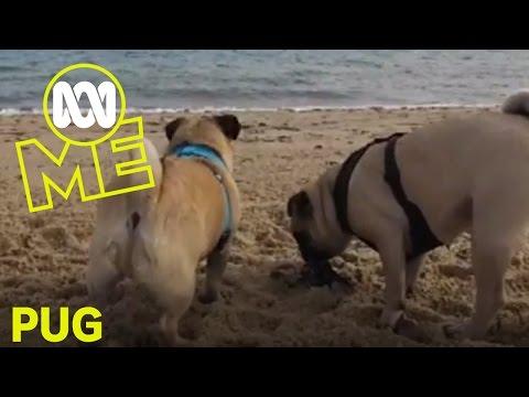 Pug: Doug the Pug