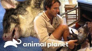 ¡Hay una zarigüeya en la chimenea! | Los Irwin | Animal Planet