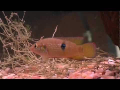 freshwater jewel cichlid - YouTube