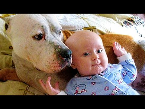 Try Not To Laugh Challenge ★ Funny Pitbull Dogs Compilation MUST SEE