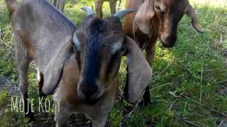 Moje kozy / my goats