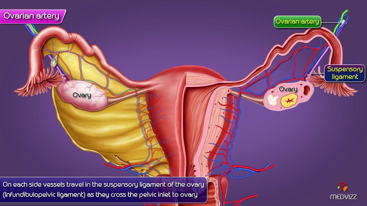 ovarian artery gross anatomy