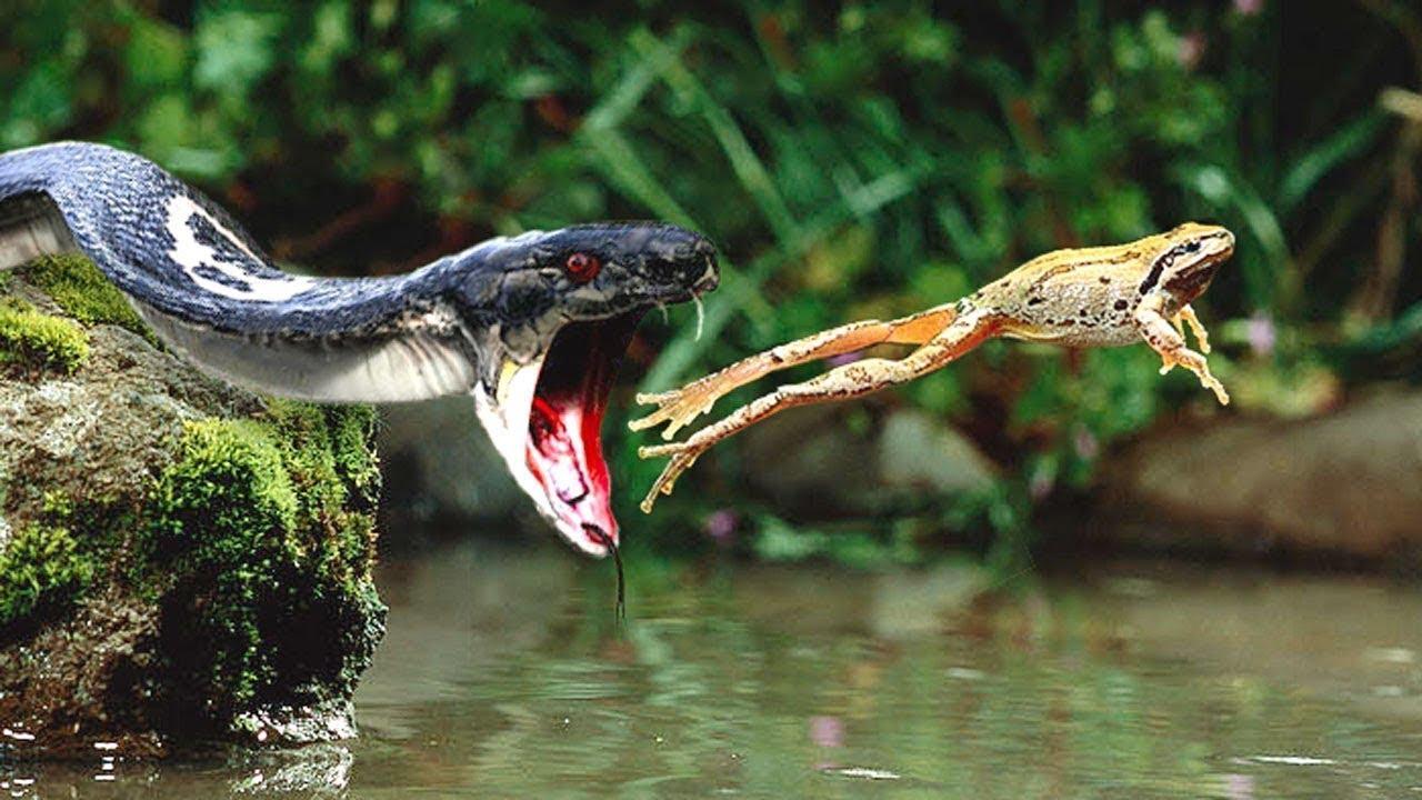 Common Watersnake (Nerodia sipedon) - Amphibians and ... |Snake Like Water Animals