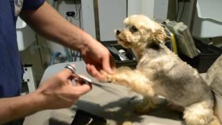 Стрижка йорка - как делать брючки